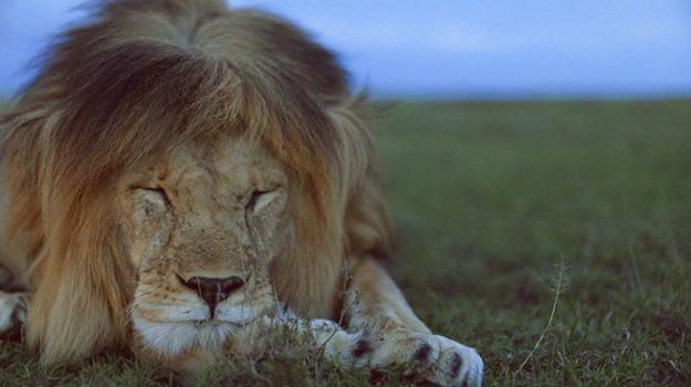Нежната страна на кралот на џунглата