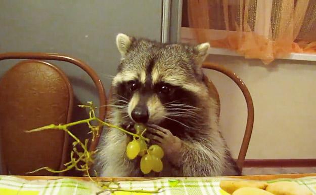 Мал ракун ужива додека јаде грозје