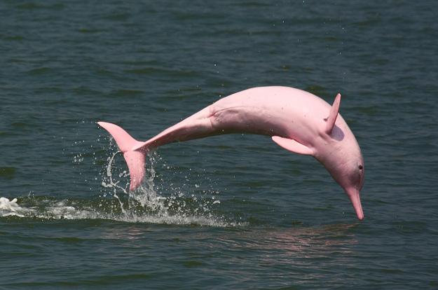Дали знаевте дека постојат розови делфини?