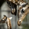 novorodencinja-zoo-iLike-mk-019