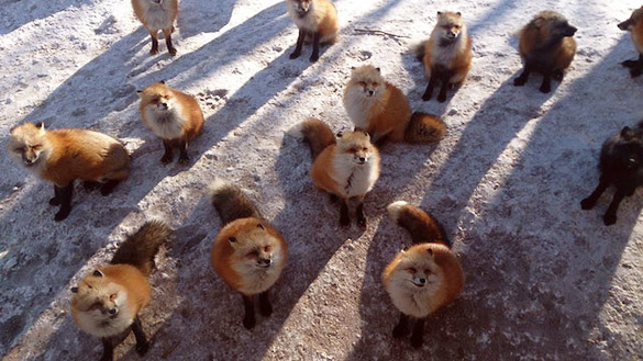 Fox-Village-in-Japan-0