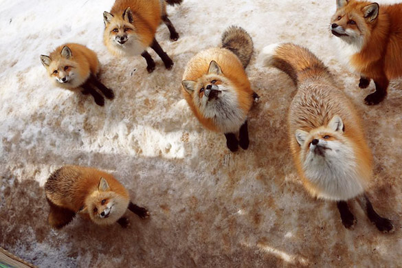Fox-Village-in-Japan-00