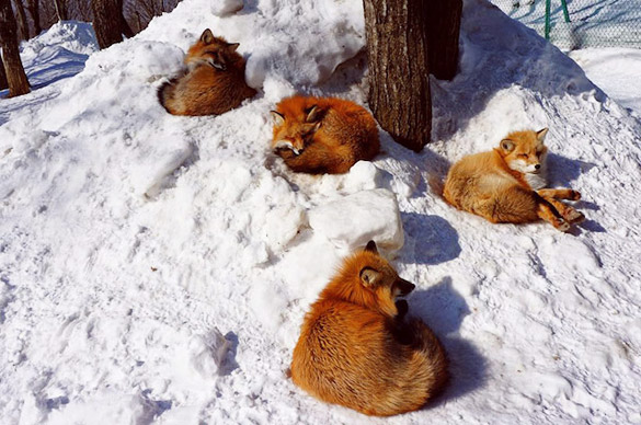 Fox-Village-in-Japan-10
