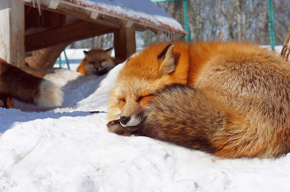Fox-Village-in-Japan-11