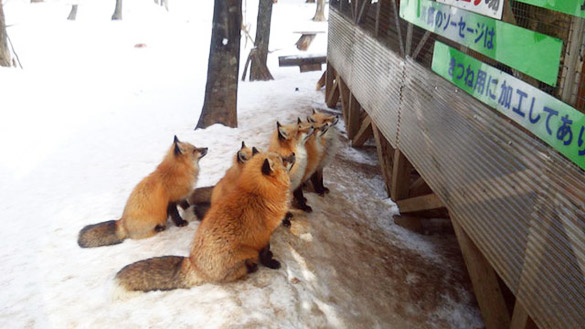 Fox-Village-in-Japan-12