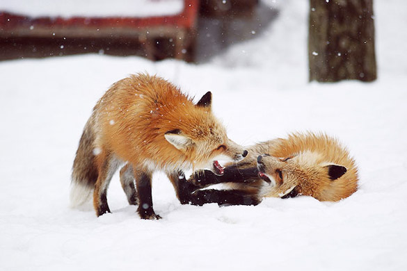 Fox-Village-in-Japan-3
