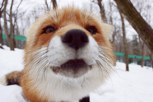 Fox-Village-in-Japan-4