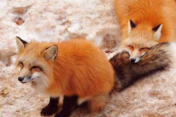 Fox-Village-in-Japan-5b