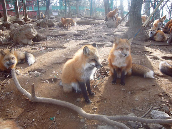 Fox-Village-in-Japan-7