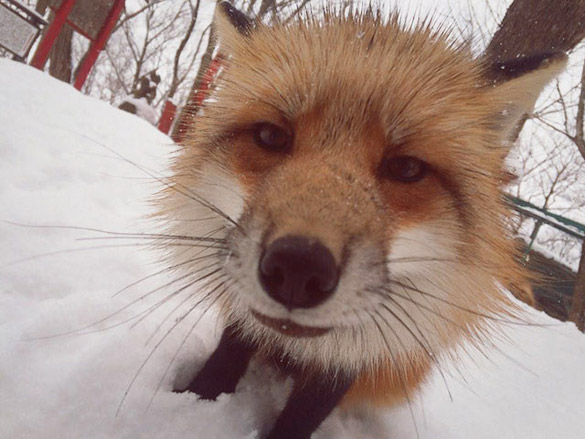 Fox-Village-in-Japan-8