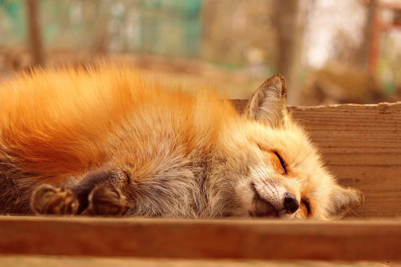 zao-fox-village-japan-29