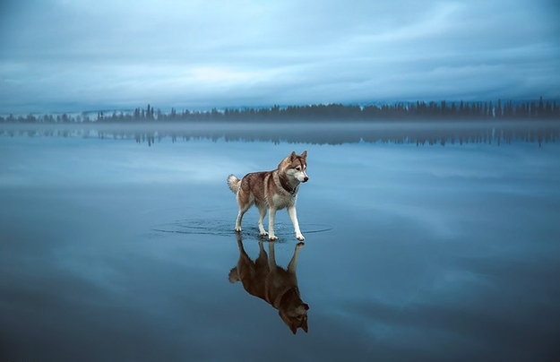 Siberian-Husky-On-A-Frozen-Lake-iLike-mk