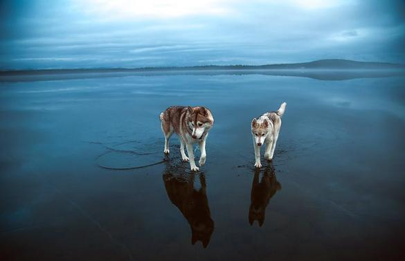 Siberian-Husky-On-A-Frozen-Lake_10