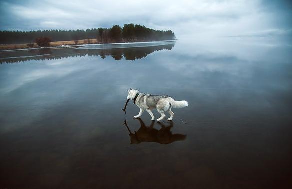 Siberian-Husky-On-A-Frozen-Lake_5
