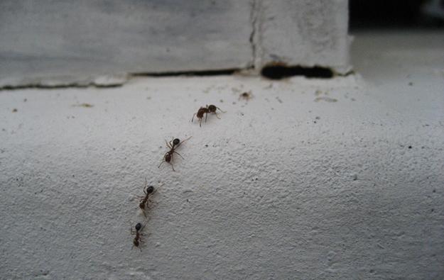 mravki