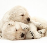 Two-sleepy-Golden-Retriever